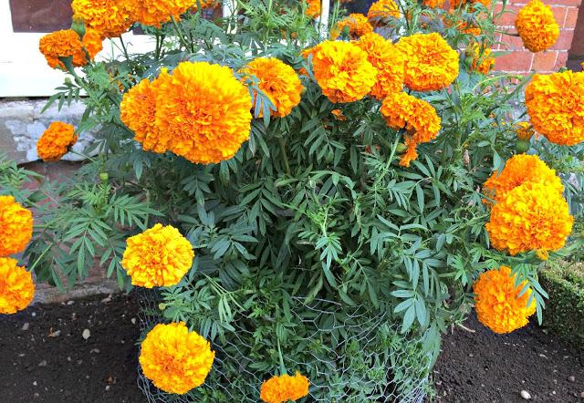 orange crysanthemums